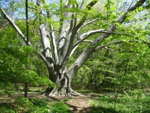 champion-beech-tree